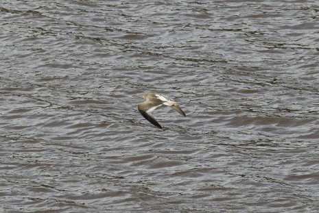 A redshank in flight over the Tyne. © Jonathan Siberry, Licensed for Reuse Under Creative Commons (CC-BY-2.0 UK) via Flickr